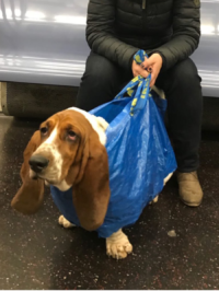 This Dog Being Carried In An Ikea Bag Is A Mood