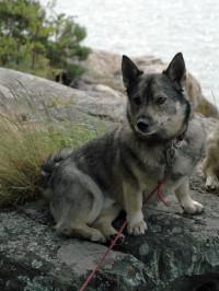The Five: Swedish Dog Breeds