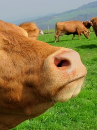 In The News: Save A Cow, Eat A Human?
