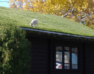 Al Johnson's roof with goats