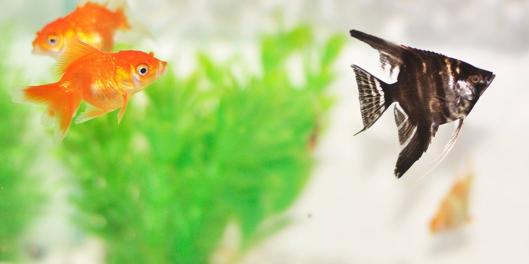 Goldfish and black fish in a tank