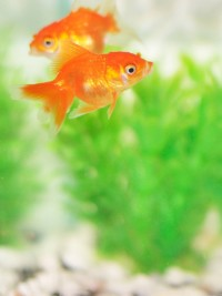In the News: How far will you go for a pet goldfish?
