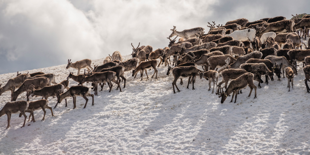 In The News: Reindeer in Sweden, PewDiePie Fights To Stay On Top