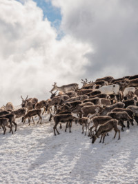 In The News: Reindeer in Sweden, PewDiePie Fights To Stay On Top And Salmon Balls At IKEA