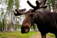 Looking For Moose? Try Sweden
