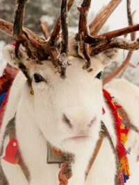In The News: Reindeer In Sweden Are Running Out Of Food