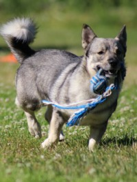 Eight Photos That Will Make You Want to Adopt a Swedish Vallhund ASAP