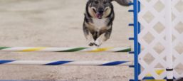 Who Let the Dogs Out: 4 Facts About the Swedish Vallhund
